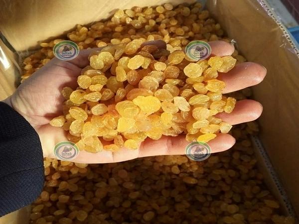 عرضه کشمش پلویی طلایی به قیمت روز